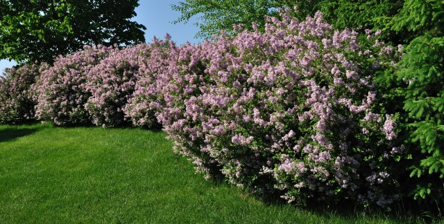 Easily plant and care for viburnum shrubs