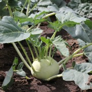 The chef's guide to cooking up delicious kohlrabi