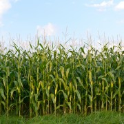 Green gardening: Growing corn