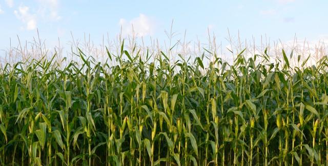Green gardening: Growing corn