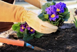 5 tips for getting the most from your primroses