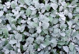 5 reasons why gardeners love licorice