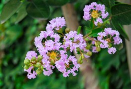 4 practical facts about myrtle and its use in cooking