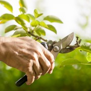 Easy tips for growing silverbell trees