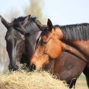 Guidelines for Feeding Horses by Activity Level
