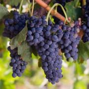 How to grow grapes, hazelnuts and kiwi