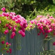 Grow roses like an expert gardener