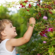 Green gardening: Growing currants