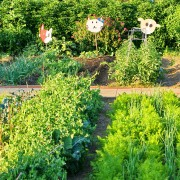 Protecting your garden without chemicals: companion planting