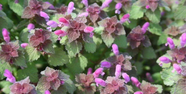 7 facts about dead nettle all gardeners must know