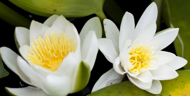 A simple guide to planting lilies