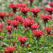 Smart tips for growing healthy bee balm