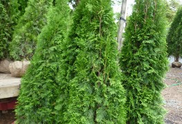 7 steps to planting cedar trees and making an attractive hedge