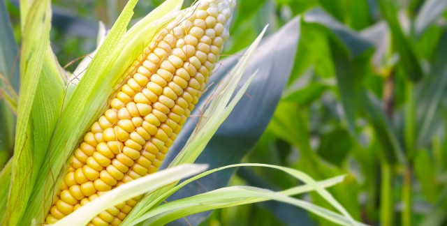 A guide to understanding the health benefits of corn