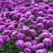 Learn to grow gorgeous chrysanthemums
