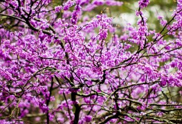 4 steps to a healthy and strong redbud