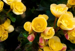 The keys to care-free begonias