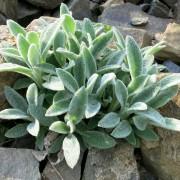 Care-free perennials:  lamb's ears