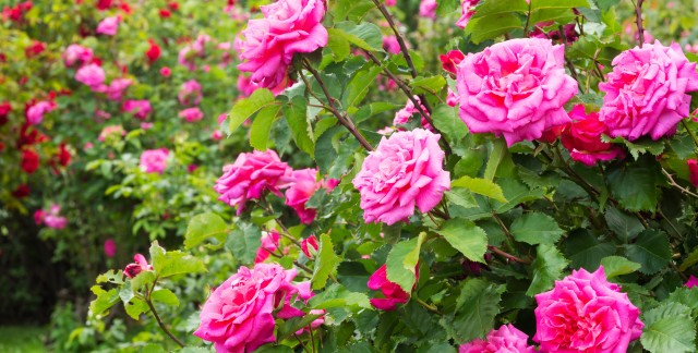 How to care for rose bushes