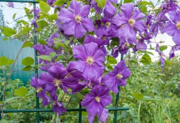 Learn to choose the best large-flowered clematis