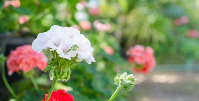 5 essential planting tips for your geraniums smart tips - How to care for ivy geranium ...