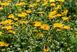 Butter daisy for better annuals