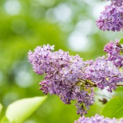 4 reasons to grow lilac in your garden