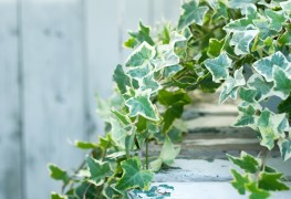 Growing ivy: what you need to know
