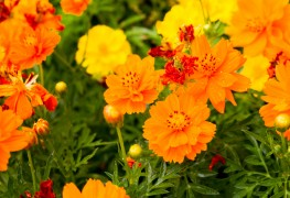 The marigold: A little-known medicinal plant