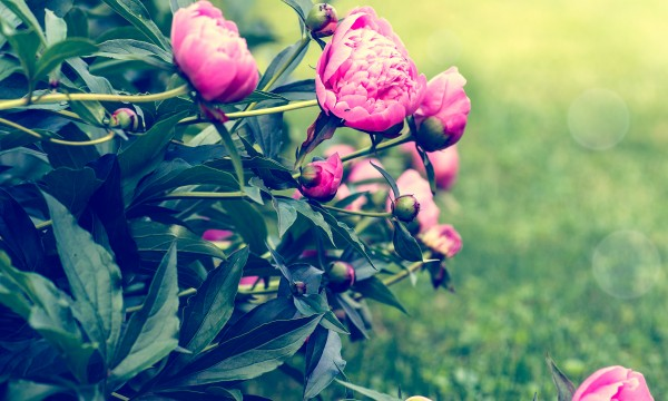 5 tips for growing beautiful peonies in your garden smart tips - Growing peonies in the garden ...