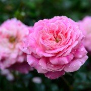 5 tricks for pruning your rose garden