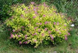 Expert advice for growing healthy spirea
