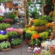 Care-free annuals: fan flower
