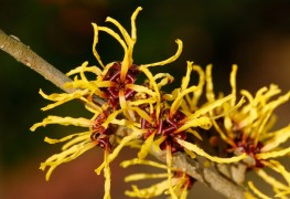 4 steps to beautiful and healthy witch hazel