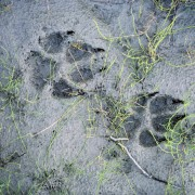 Helpful hints for identifying common animal tracks
