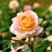Clever tips for growing and maintaining a rose garden