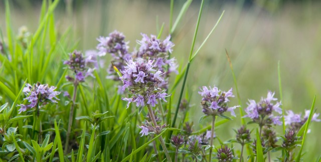 8 ways to make the most of the thyme in your garden