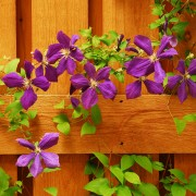 How to add clematis vines to your garden