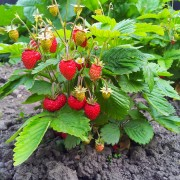 9 pointers for growing bountiful fruit in the garden