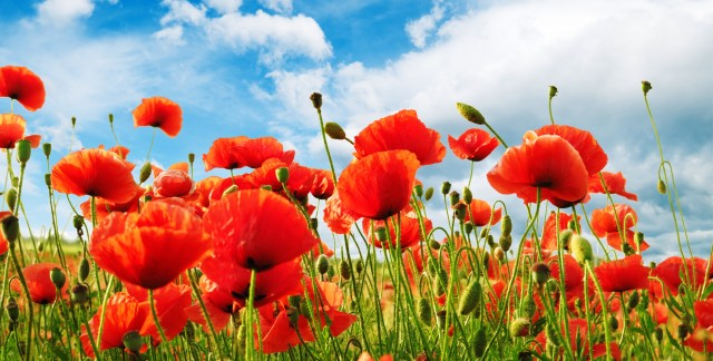 Simple tips for growing Oriental poppies
