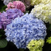 Care-free tips for growing hydrangeas
