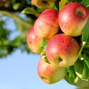 20 apple varieties: Grow your own organic apples