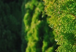 How to grow healthy broad-leaved evergreen trees