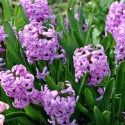 4 tricks for getting the most out of your hyacinths