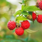 5 clues to growing raspberries
