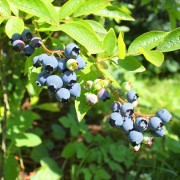 Growing blueberries: 5 essential tips