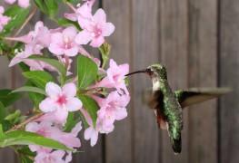Care-free shrubs: azalea