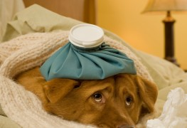 How to treat cold and flu in dogs