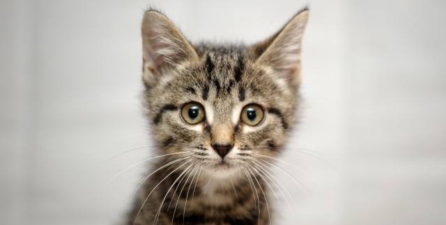 Is It Better To Adopt A Kitten Or A Cat Smart Tips