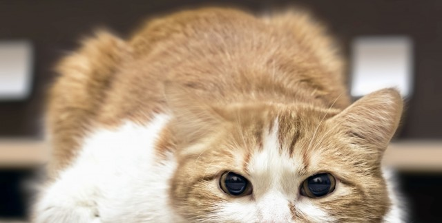 how to help cat limping